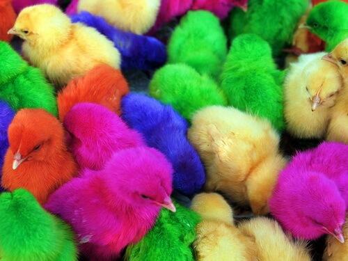 Разноцветные цыплята. Окрашено с любовью.